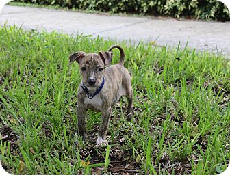 Whippet/Pit Bull Terrier Mix Puppy for adoption in Ft. Myers, Florida - Devo