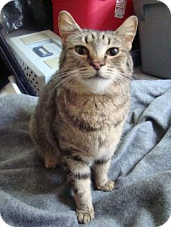Domestic Shorthair Cat for adoption in Muncie, Indiana - Hickory