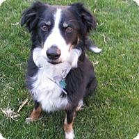 Adopt A Pet :: Smokey - Denver, CO