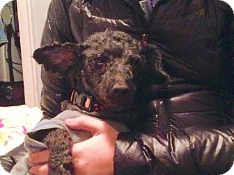 Poodle (Miniature)/Dachshund Mix Dog for adoption in Hainesville, Illinois - Mr Puddles
