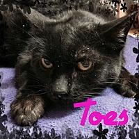 Adopt A Pet :: Toes - Toledo, OH
