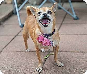 Chihuahua Dog for adoption in Minneapolis, Minnesota - Buttercup