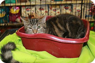 Domestic Shorthair Cat for adoption in Rochester, Minnesota - Twig