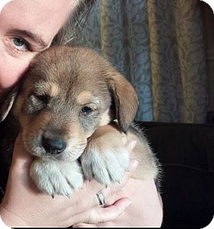 Husky/Corgi Mix Puppy for adoption in Hainesville, Illinois - Noah