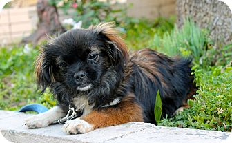 Pekingese Mix Puppy for adoption in Los Angeles, California - Yoshi