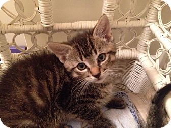 Domestic Mediumhair Kitten for adoption in Burlington, Ontario - Houdini