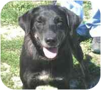 Labrador Retriever Dog for adoption in Frankfort, Illinois - Pollyanna