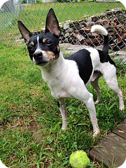 Rat Terrier Mix Dog for adoption in Newtown, Connecticut - Spartan
