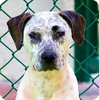 Dalmatian/Pointer Mix Dog for adoption in Ft Myers Beach, Florida - Full of Freckles!!!