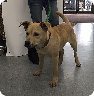 Carolina Dog/Shepherd (Unknown Type) Mix Dog for adoption in Harmony, Glocester, Rhode Island - Mouse