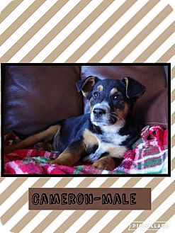 Australian Cattle Dog Mix Puppy for adoption in Hagerstown, Maryland - Cameron