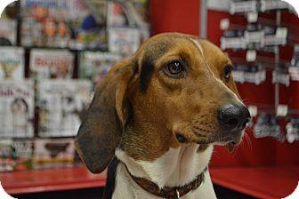 Treeing Walker Coonhound Dog for adoption in Acworth, Georgia - Sheikh - Steak Litter