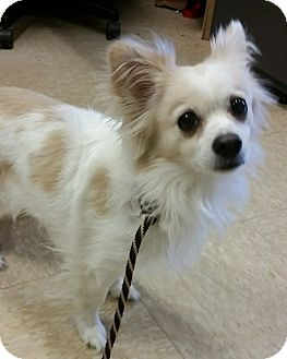 Papillon/Chihuahua Mix Dog for adoption in Worcester, Massachusetts - George Harrison