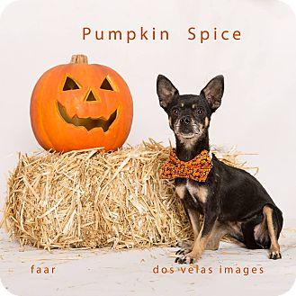 Chihuahua Mix Dog for adoption in Riverside, California - Pumpkin Spice