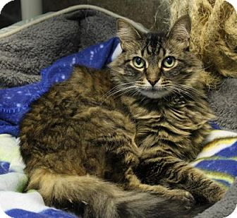 Domestic Mediumhair Cat for adoption in West Des Moines, Iowa - Gorgeous