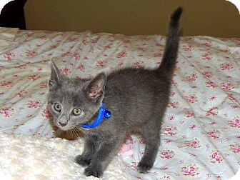 Russian Blue Kitten for adoption in Huntsville, Alabama - Hagrid