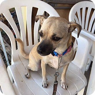 Chihuahua/Pug Mix Dog for adoption in Elk Grove, California - BREE