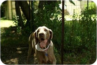 Weimaraner Dog for adoption in Mason, Michigan - Glacier