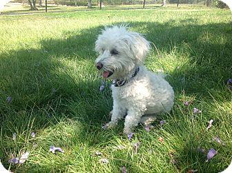 Maltese/Poodle (Miniature) Mix Dog for adoption in San diego, California - Albert einstein