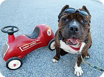 English Bulldog Mix Dog for adoption in Wilmington, Delaware - Bambino