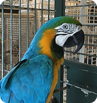 Macaw for adoption in Punta Gorda, Florida - Ferguson