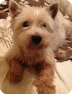 Westie, West Highland White Terrier Dog for adoption in Rye, New Hampshire - Charlotte