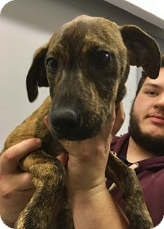Mountain Cur Mix Puppy for adoption in Lafayette, New Jersey - Della