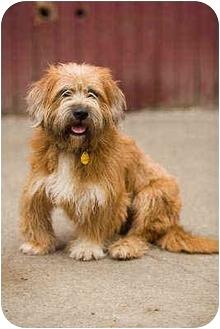 Petit Basset Griffon Vendeen Mix Dog for adoption in Portland, Oregon - Tulip