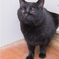 Domestic Shorthair Cat for adoption in Corinne, Utah - Chaos