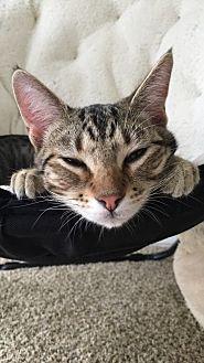 Domestic Shorthair Cat for adoption in San Antonio, Texas - Zuko