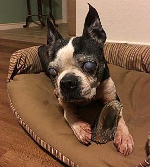 Boston Terrier Dog for adoption in Sanger, Texas - Henry