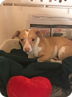 Chihuahua Mix Dog for adoption in Beverly Hills, California - Chiquita Courtesy Post