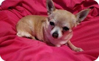 Chihuahua Mix Dog for adoption in Mesa, Arizona - Mara Jo
