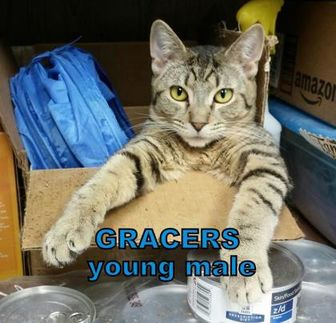 Domestic Shorthair/Domestic Shorthair Mix Cat for adoption in Erie, Pennsylvania - Gracers