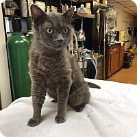 Adopt A Pet :: Blue Hope - Lunenburg, MA
