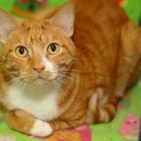 Domestic Shorthair/Domestic Shorthair Mix Cat for adoption in Baton Rouge, Louisiana - Chewey