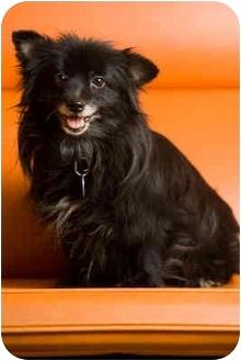 Pomeranian Mix Dog for adoption in Portland, Oregon - Yaya