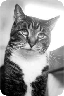 Domestic Shorthair Cat for adoption in Bloomsburg, Pennsylvania - Rollie
