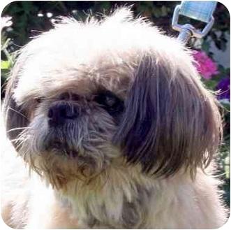Shih Tzu Dog for adoption in Mays Landing, New Jersey - Cesar-NC