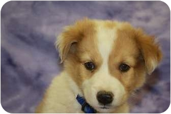 Australian Shepherd/Shepherd (Unknown Type) Mix Puppy for adoption in Broomfield, Colorado - Cedar