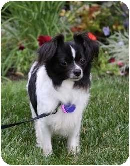 Papillon Mix Dog for adoption in Newport Beach, California - STALLONE
