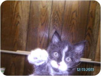 Domestic Shorthair Cat for adoption in Tipton, Iowa - BJ