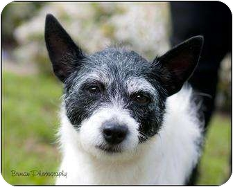 Schnauzer (Miniature)/Rat Terrier Mix Dog for adoption in Houston, Texas - Tinkerbell