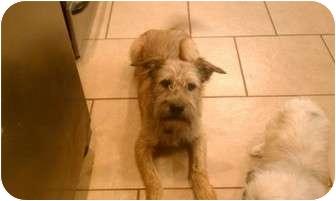 Irish Terrier Mix Dog for adoption in Hales Corners, Wisconsin - Buddy