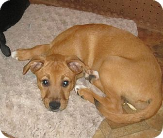 Boxer/Australian Shepherd Mix Puppy for adoption in Copperas Cove, Texas - Pumbaa