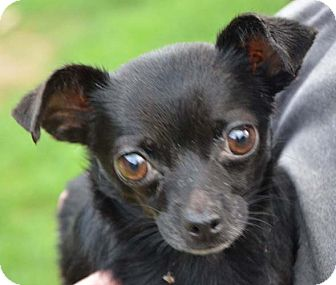 Chihuahua Puppy for adoption in Ocala, Florida - Sweet Pea