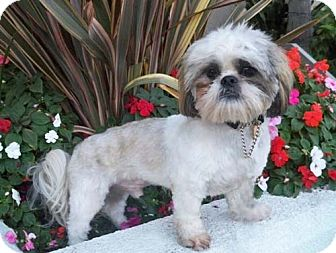 Lhasa Apso/Shih Tzu Mix Dog for adoption in Los Angeles, California - WEMBLEY