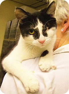 Domestic Shorthair Cat for adoption in Toledo, Ohio - Bella