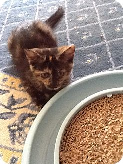 Domestic Shorthair Cat for adoption in Fort Wayne, Indiana - Starr