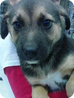German Shepherd Dog/Hound (Unknown Type) Mix Puppy for adoption in River Falls, Wisconsin - Bee